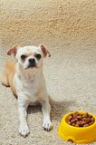 Σκυλί και κύπελλο Chihuahua με την τροφή Στοκ Εικόνες