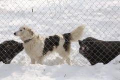 Σκυλί και φιλία δύο βιετναμέζικη χοίρων Στοκ εικόνες με δικαίωμα ελεύθερης χρήσης