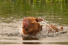σκυλί καλό έχοντας την κο&l Στοκ φωτογραφίες με δικαίωμα ελεύθερης χρήσης