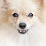 Σκυλί κατοικίδιων ζώων Pomeranian Στοκ Εικόνες