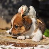Σκυλί κουταβιών με λίγο κοτόπουλο, Πάσχα Στοκ φωτογραφίες με δικαίωμα ελεύθερης χρήσης