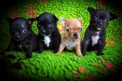 Σκυλί κουταβιών μωρών Chihuahua στην ποιότητα στούντιο Στοκ Εικόνες