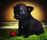 Σκυλί κουταβιών μωρών Chihuahua στην ποιότητα στούντιο Στοκ Εικόνα