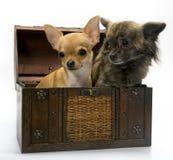 Σκυλί κουταβιών μωρών Chihuahua στην ποιότητα στούντιο Στοκ Φωτογραφία