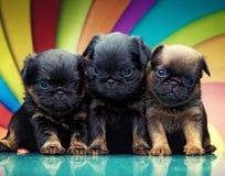Σκυλί κουταβιών μωρών Griffon στην ποιότητα στούντιο Στοκ φωτογραφία με δικαίωμα ελεύθερης χρήσης