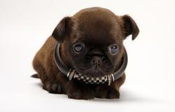 Σκυλί κουταβιών μωρών Griffon στην ποιότητα στούντιο Στοκ Εικόνα