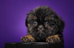 Σκυλί κουταβιών μωρών Griffon στην ποιότητα στούντιο Στοκ Φωτογραφίες