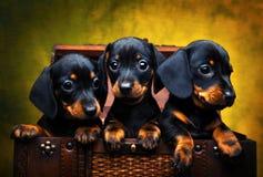 Σκυλί κουταβιών Dachshund στο ξύλινο κιβώτιο Στοκ φωτογραφία με δικαίωμα ελεύθερης χρήσης