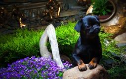 Σκυλί κουταβιών Griffon στον κήπο Στοκ εικόνες με δικαίωμα ελεύθερης χρήσης
