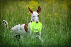 Σκυλί κυνηγόσκυλων Ibizan Στοκ Εικόνες