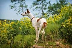 Σκυλί κυνηγόσκυλων Ibizan Στοκ φωτογραφίες με δικαίωμα ελεύθερης χρήσης