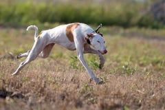 Σκυλί κυνηγόσκυλων Ibizan Στοκ Φωτογραφία