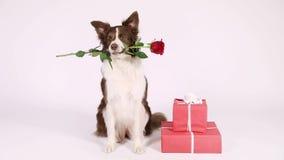 Σκυλί κόλλεϊ συνόρων με τα δώρα διακοπών φιλμ μικρού μήκους