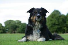 σκυλί κόλλεϊ συνόρων υγρό Στοκ Εικόνα