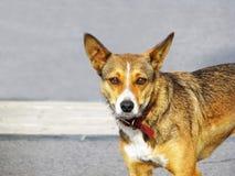 σκυλί λίγη οδός Στοκ Φωτογραφίες