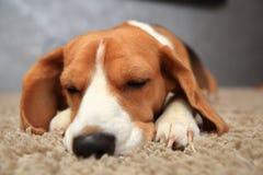 Σκυλί λαγωνικών με τις ιδιαίτερες προσοχές Στοκ Εικόνες