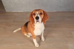 Σκυλί λαγωνικών που ανατρέχει Στοκ εικόνα με δικαίωμα ελεύθερης χρήσης