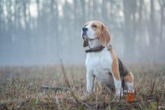 Σκυλί λαγωνικών σε έναν περίπατο στην ομίχλη Στοκ Φωτογραφίες