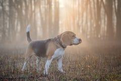 Σκυλί λαγωνικών σε έναν περίπατο στην ομίχλη Στοκ φωτογραφία με δικαίωμα ελεύθερης χρήσης