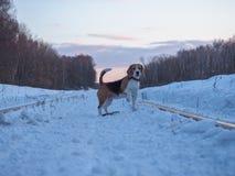 Σκυλί λαγωνικών σε έναν περίπατο στο ηλιοβασίλεμα που εξισώνει το Μάρτιο Στοκ Εικόνες