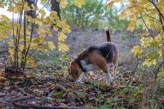 Σκυλί λαγωνικών σε ένα υπόβαθρο του δάσους φθινοπώρου Στοκ Φωτογραφίες