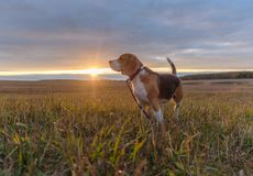 Σκυλί λαγωνικών στις φωτεινές ακτίνες του ηλιοβασιλέματος φθινοπώρου Στοκ Φωτογραφίες
