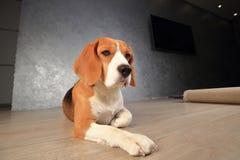 Σκυλί λαγωνικών στο ξύλινο πάτωμα Στοκ Φωτογραφίες