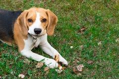 Σκυλί λαγωνικών υπαίθρια Πορτρέτο ενός χαριτωμένου, δυσνόητου λαγωνικού στοκ εικόνα