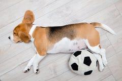 Σκυλί λαγωνικών ύπνου Στοκ φωτογραφία με δικαίωμα ελεύθερης χρήσης