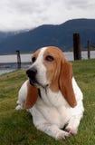 σκυλί λαγωνικών στοκ φωτογραφία