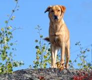σκυλί Λαμπραντόρ κίτρινο Στοκ φωτογραφίες με δικαίωμα ελεύθερης χρήσης