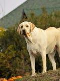 σκυλί Λαμπραντόρ κίτρινο Στοκ Φωτογραφία