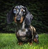 Σκυλί λεοπαρδάλεων dachshund με τα διαφορετικά μάτια στον κήπο Στοκ Εικόνες