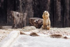 Σκυλί λιβαδιών που στέκεται κατακόρυφα στο έδαφος Καλοκαίρι στοκ φωτογραφία με δικαίωμα ελεύθερης χρήσης