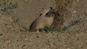 Σκυλί λιβαδιών, ludovicianus Cynomys, που σκάβει στο λαγούμι που ανατρέχει έπειτα φιλμ μικρού μήκους