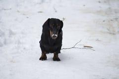 Σκυλί λουκάνικων Dachshund στοκ εικόνες