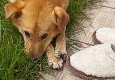 Σκυλί λυπημένο για τις παντόφλες Στοκ Εικόνες
