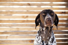 σκυλί λυπημένο Στοκ φωτογραφίες με δικαίωμα ελεύθερης χρήσης