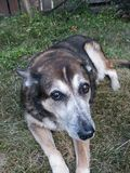 σκυλί λυπημένο Στοκ Φωτογραφίες