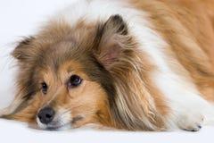 σκυλί λυπημένο στοκ εικόνα με δικαίωμα ελεύθερης χρήσης