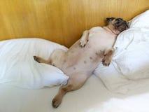 Σκυλί μαλαγμένου πηλού που έχει μια χαλαρώνοντας σιέστα στο δωμάτιο κρεβατιών στοκ εικόνα
