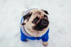 Σκυλί μαλαγμένου πηλού που περπατά στο χιόνι στο πάρκο Κουτάβι που φορά το χειμερινό παλτό στοκ εικόνες