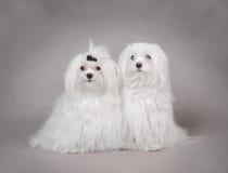 σκυλί Μαλτέζος δύο Στοκ Φωτογραφία