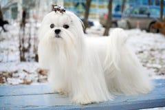 σκυλί Μαλτέζος Στοκ φωτογραφίες με δικαίωμα ελεύθερης χρήσης