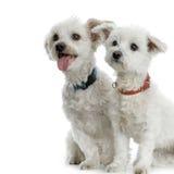 σκυλί Μαλτέζος Στοκ Φωτογραφίες