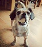 Σκυλί με ένα μπισκότο που δεν ταιριάζει στο στόμα της στοκ εικόνες με δικαίωμα ελεύθερης χρήσης
