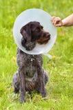 Σκυλί με ένα σχισμένο αυτί στο elizabethan περιλαίμιο στοκ φωτογραφία με δικαίωμα ελεύθερης χρήσης