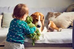 Σκυλί με ένα χαριτωμένο καυκάσιο κοριτσάκι Το λαγωνικό βρίσκεται στον καναπέ, το μωρό έρχεται με το παιχνίδι να παίξει με τον στοκ εικόνες