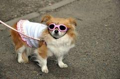 Σκυλί με τα ενδύματα και τα ρόδινα γυαλιά ηλίου, Τόκιο Ιαπωνία Στοκ φωτογραφία με δικαίωμα ελεύθερης χρήσης