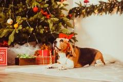 Σκυλί με τη διακόσμηση κέρατων ελαφιών κάτω από το χριστουγεννιάτικο δέντρο στοκ φωτογραφία με δικαίωμα ελεύθερης χρήσης